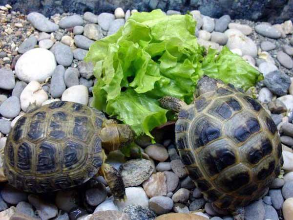 Черепахи питаются